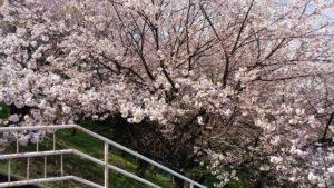 成瀬の城山公園の桜