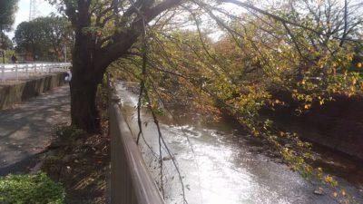 恩田川の桜の木2
