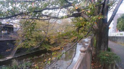 恩田川の桜の木4