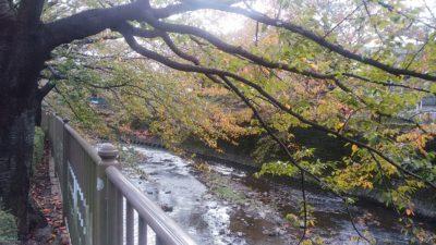 恩田川の桜の木5