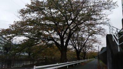 恩田川の木
