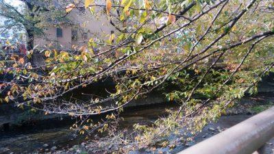 恩田川の桜の木6
