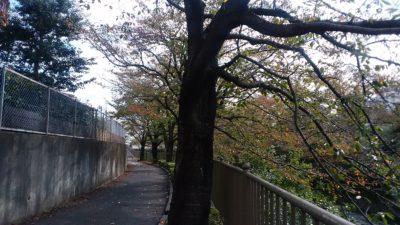 恩田川の桜の木7