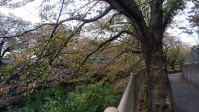 恩田川の桜の木8