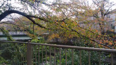 恩田川の桜の木9