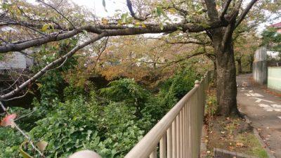 恩田川の桜の木10