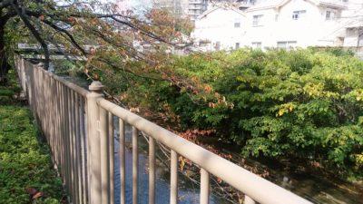 恩田川の鯉