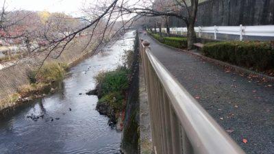 恩田川のカモ