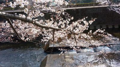 恩田川の桜2