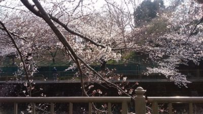 恩田川の桜3