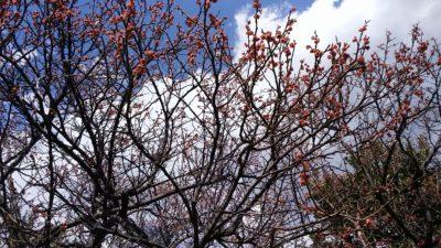 梅の花の散った後