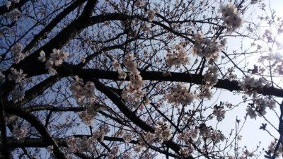 恩田川の桜5
