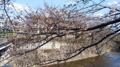 恩田川の桜b4