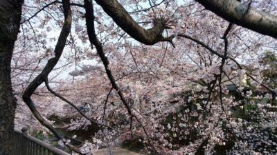 恩田川の桜7