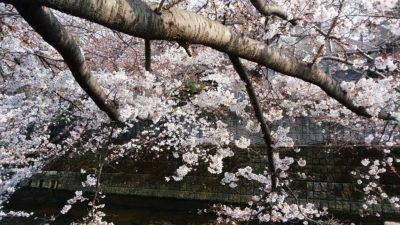 恩田川の桜8