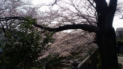 恩田川の桜⑨