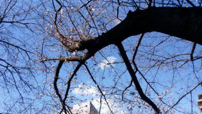恩田川の桜12