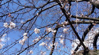 恩田川の桜10