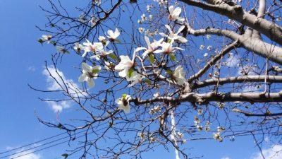 恩田川の桜11