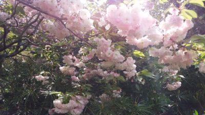 江ノ島大師敷地の桜