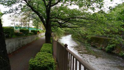 恩田川沿いの桜