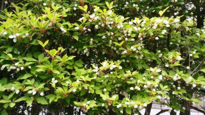 恩田川沿いの白い花
