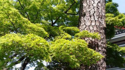 高幡不動の紅葉と松