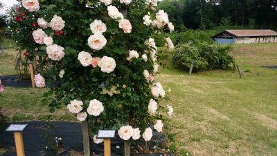 野津田のバラ園