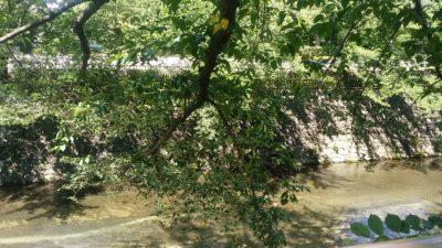 恩田川の桜の木
