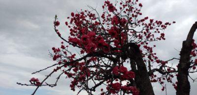 令和2年3月23日桜