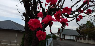令和2年3月23日桜2