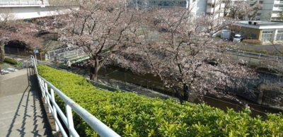 恩田川の桜6