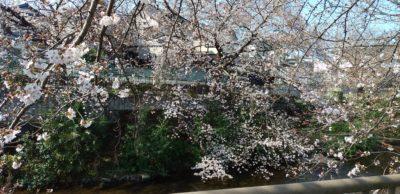 恩田川の桜4