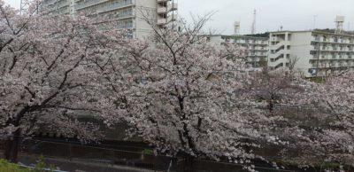 令和2年恩田川の桜