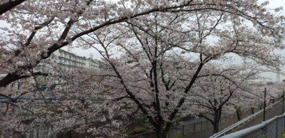 令和2年3月30日桜2